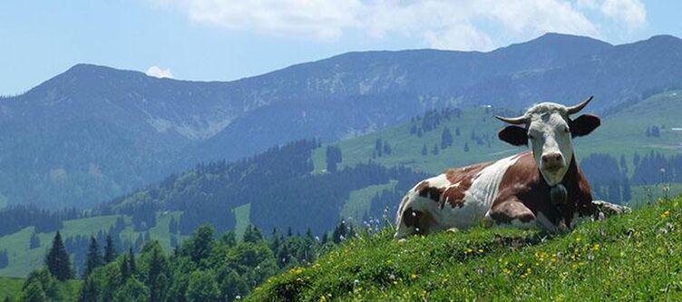 Bergschloessl Kuh