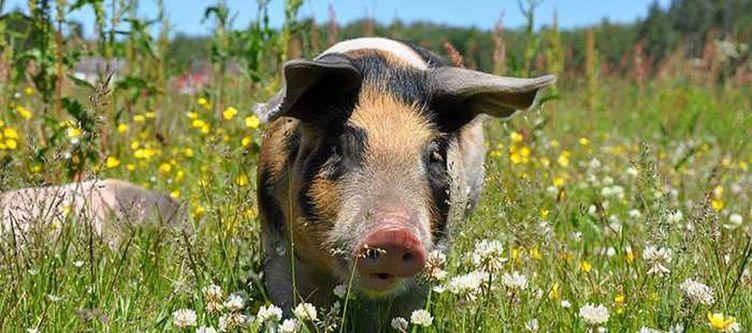 Chalet E Streichelzoo Schwein