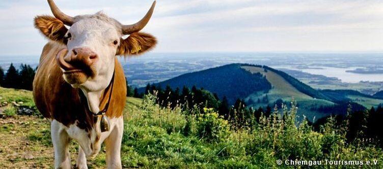 Chiemgau Kuh Auf Der Alm 1