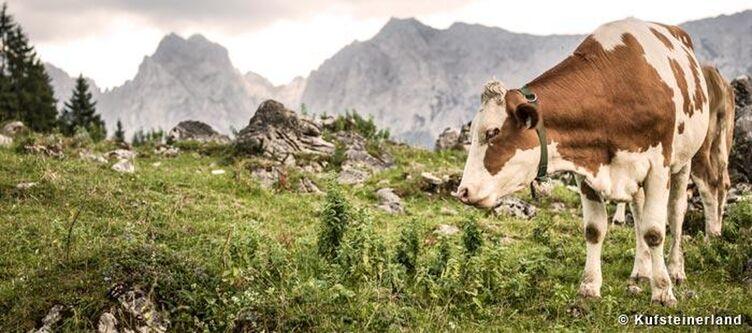 Kufsteinerland Kuh Auf Der Alm 1