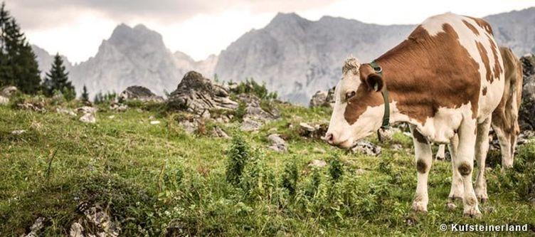 Kufsteinerland Kuh Auf Der Alm