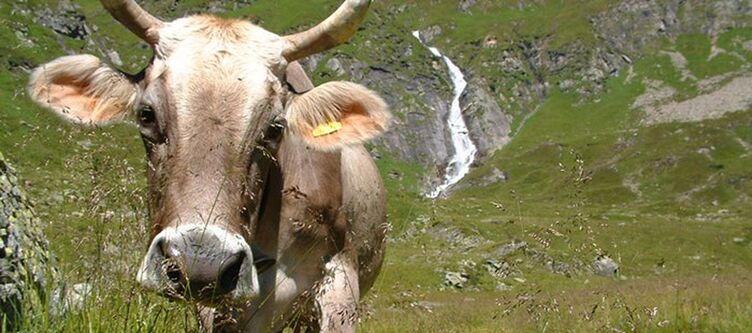 Laendenhof Kuh