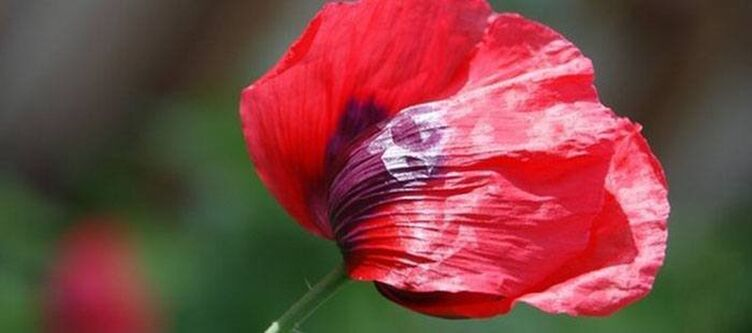 Plueme Blume2