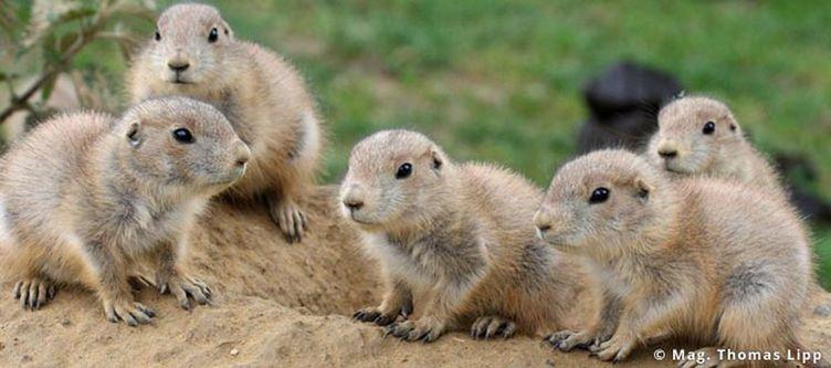 Tierparkherberstein Praeriehundbabies
